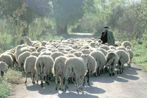 Not even sheep need a leader!
